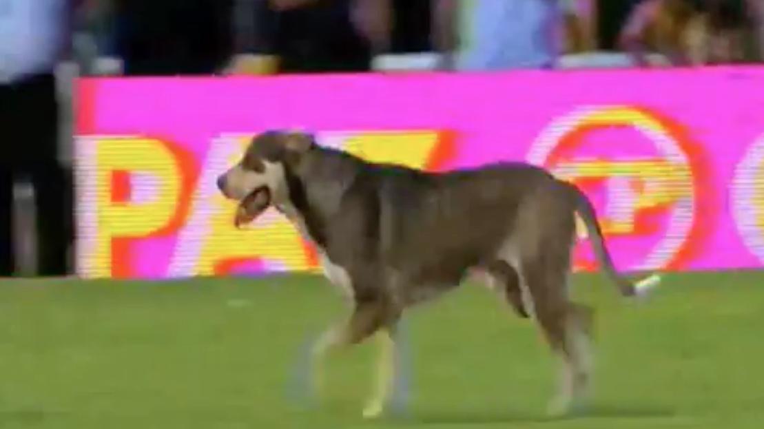 Insolite : Un chien se lâche sur le terrain en plein match (vidéo)